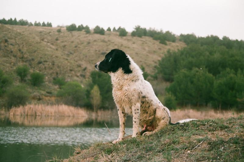 15 000 лв. обезщетение за ухапване от кавказка овчарка